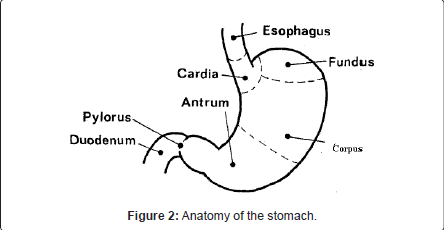 gastrointestinal-digestive-system-Anatomy-stomach