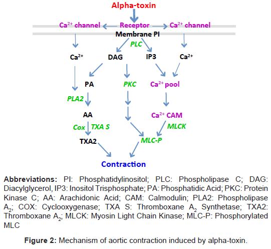 glycomics-lipidomics-Mechanism-aortic-contraction