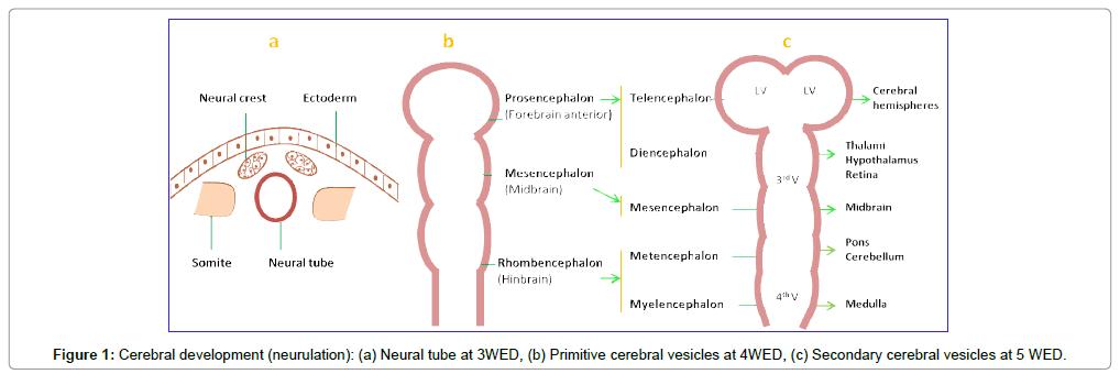 human-genetics-embryology-development
