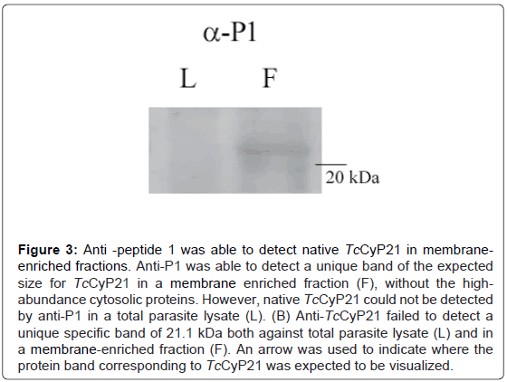 immunochemistry-immunopathology-detect-native-membraneenriched