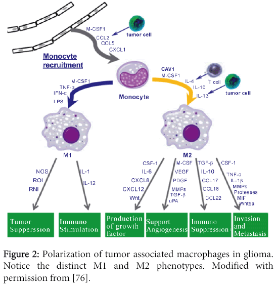 immunome-research-Polarization-tumor-associated-macrophages-glioma