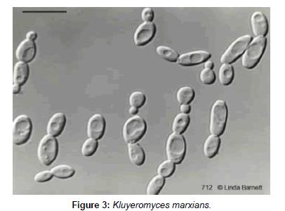 industrial-chemistry-Kluyeromyces-marxians