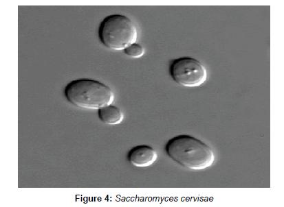 industrial-chemistry-Saccharomyces-cervisae