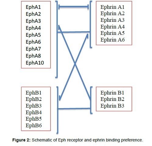 leukemia-Eph-receptor