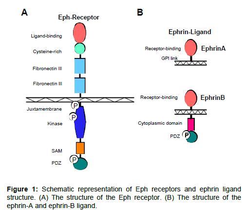 leukemia-ephrin-ligand