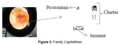 marine-science-research-Family-Capitellidae