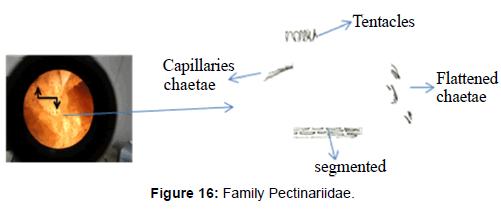 marine-science-research-Family-Pectinariidae