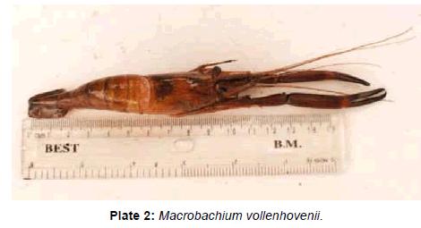marine-science-research-Macrobachium-vollenhovenii