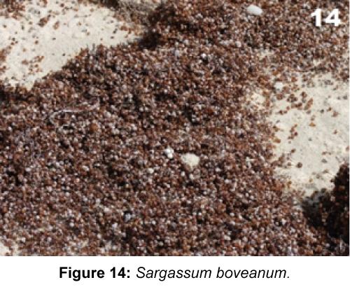 marine-science-research-development-Sargassum