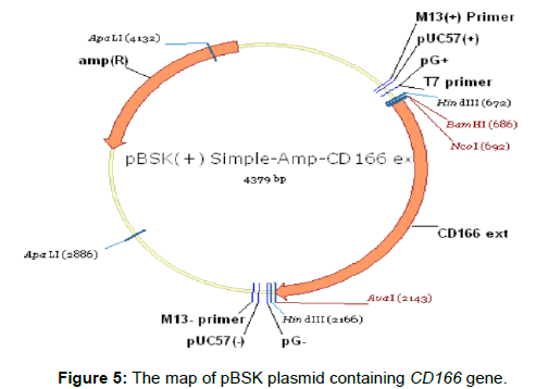 medical-microbiology-diagnosis-pBSK-plasmid-gene