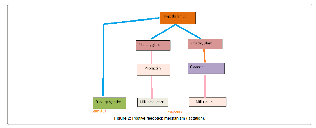 medical-physiology-therapeutics-feedback-mechanism