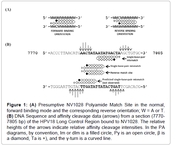 DNA Binding Polyamides and the Importance of DNA Recognition in