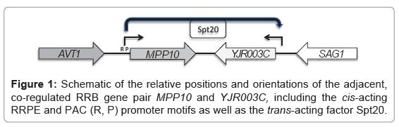 molecular-biology-RRB-gene-pair-MPP10