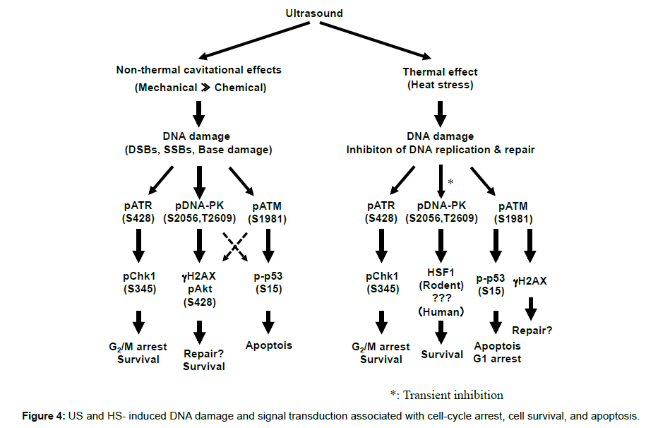 molecular-biology-cell-cycle