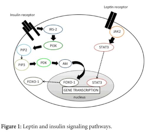molecular-genetic-medicine-Leptin-insulin-signaling-pathways