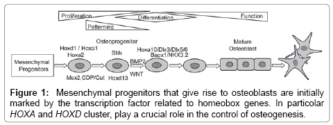 molecular-genetic-medicine-Mesenchymal-progenitors