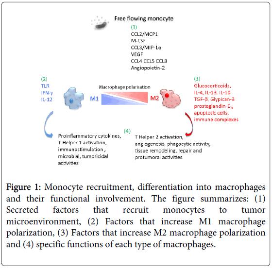 molecular-genetic-medicine-Monocyte-recruitment-macrophages-involvement