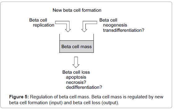 molecular-genetic-medicine-Regulation-beta-cell-mass