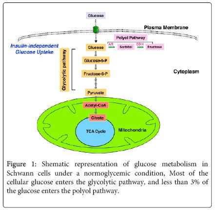 molecular-genetic-medicine-Shematic-representation-glucose-metabolism