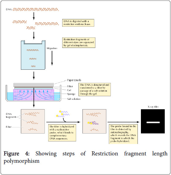 molecular-genetic-medicine-Showing-steps-Restriction-fragment