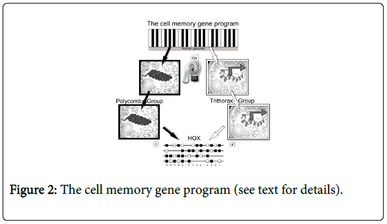 molecular-genetic-medicine-The-cell-memory-gene-program