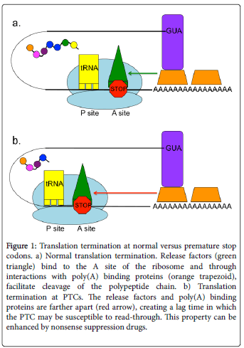 molecular-genetic-medicine-Translation-termination-premature
