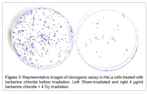 molecular-genetic-medicine-clonogenic-assay-HeLa-cells