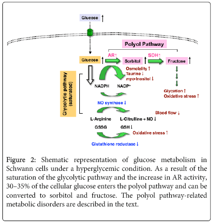 molecular-genetic-medicine-glucose-metabolism-Schwann-cells
