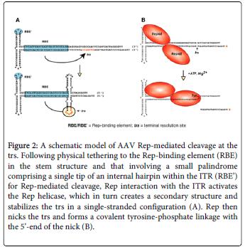 molecular-genetic-medicine-physical-tethering-Rep-binding