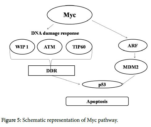 nuclear-medicine-Myc-pathway