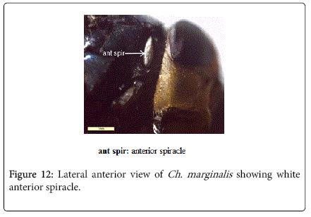 nursing-forensic-studies-showing-white-anterior-spiracle