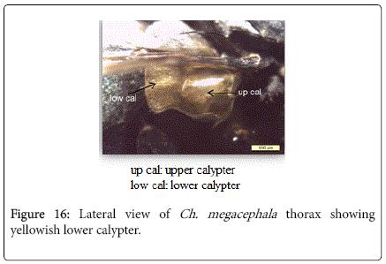 nursing-forensic-studies-yellowish-lower-calypter
