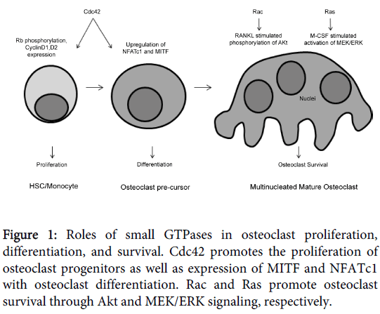 orthopedic-muscular-system-osteoclast-survival-proliferation