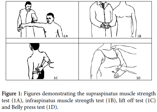orthopedic-muscular-system-supraspinatus-muscle-infraspinatus
