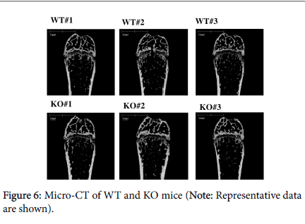 osteoporosis-and-physical-activity-KO-mice