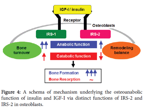 osteoporosis-and-physical-activity-schema-mechanism
