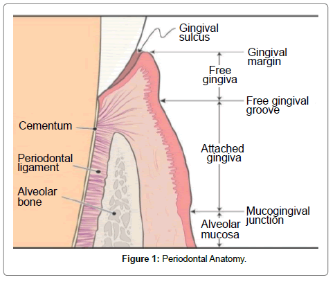 pediatric-dental-care-anatomy