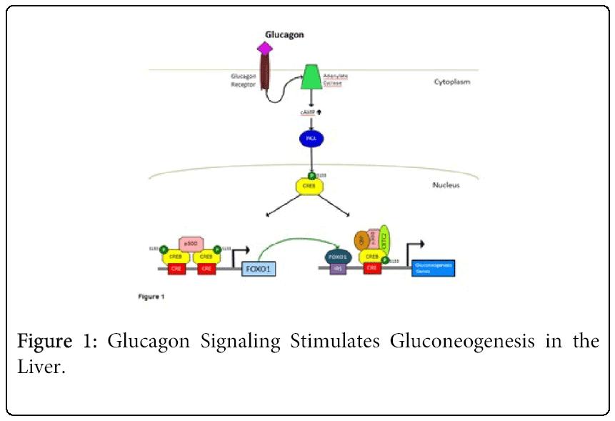 pediatrics-therapeutics-Gluconeogenesis