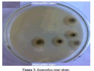 plant-pathology-microbiology-Aspergillus-niger