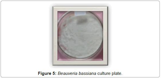 plant-pathology-microbiology-Beauveria-bassiana-culture