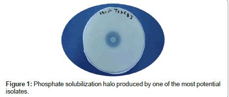 plant-pathology-microbiology-Phosphate-solubilization