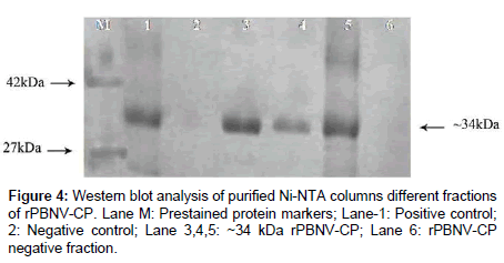 plant-pathology-microbiology-Western-blot-analysis