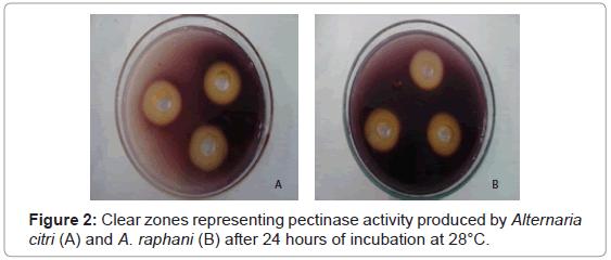 plant-pathology-microbiology-representing-pectinase-Alternaria