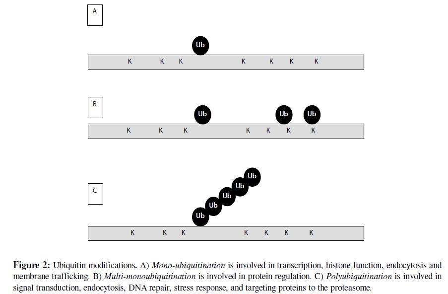 proteomics-bioinformatics-ubiquitin-modifications