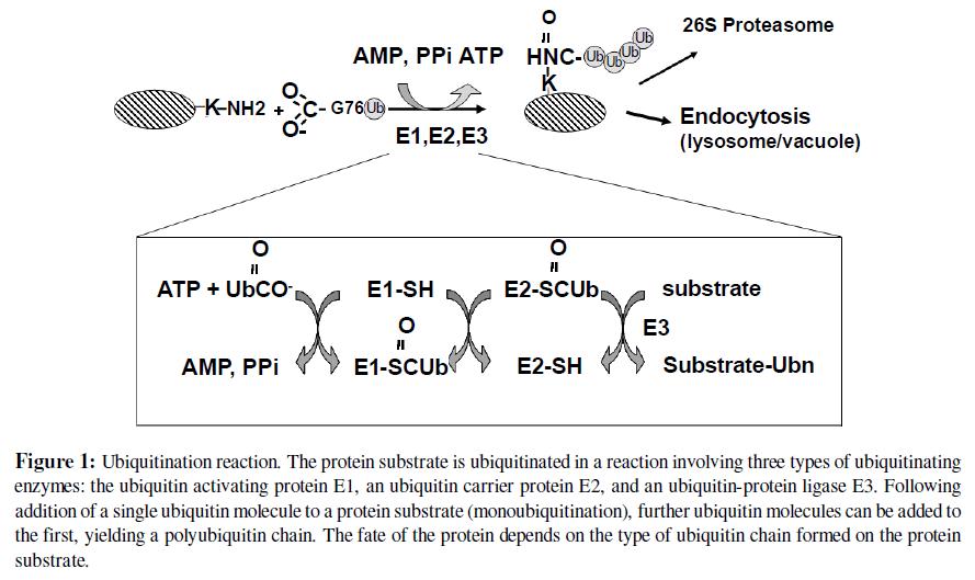 proteomics-bioinformatics-ubiquitination-reaction