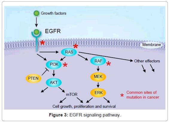 pulmonary-respiratory-EGFR-signaling-pathway