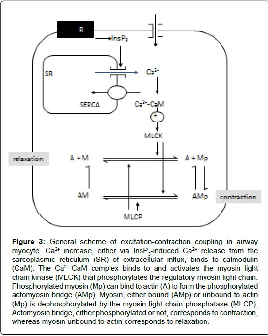 pulmonary-respiratory-medicine-Actomyosin-bridge