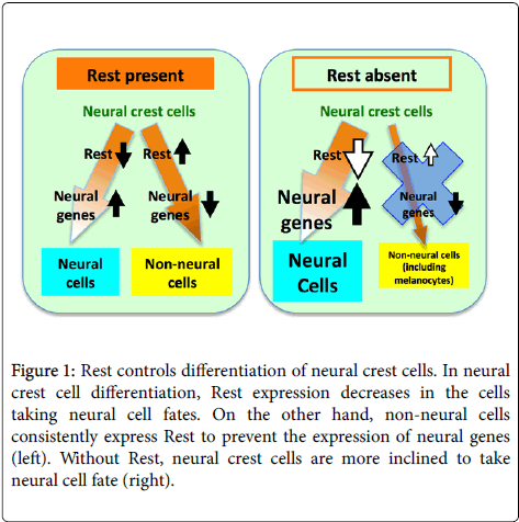 single-cell-biology-Rest-controls-differentiation