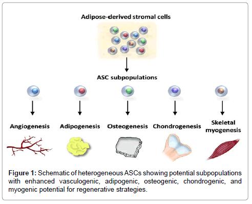 stem-cell-research-enhanced-vasculogenic