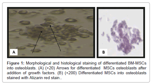 stem-cell-research-histological-staining